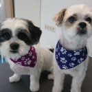 maltese dogs grooming at pet styling cecile veldhoven