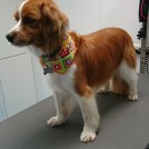 hand stripping at pet styling cecile grooming veldhoven