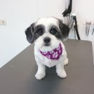 maltese puppy grooming salon pet styling cecile veldhoven