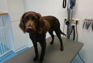 german pointer puppy grooming at pet styling cecile meerhoven