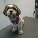 grooming shih tzu at pet styling cecile veldhoven