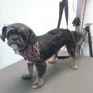 shih tzu grooming at pet styling veldhoven