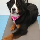 Bernese mountain dog grooming salon meerhoven