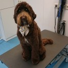 Cutting a labradoodle by groomer Pet styling Cecile Eindhoven