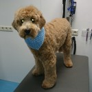 labradoodle for a haircut at groomer pet styling cecile veldhoven