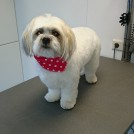 cutting a little dog by groomer pet styling cecile