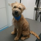 Puppy Wheaten terrier at groomer Pet Styling Cecile Veldhoven