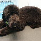 Groomer Cecile groomed a beautiful australian labadoodle in Veldhoven