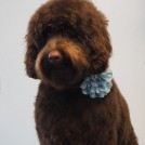 Australian Cobberdog cut by groomer Cecile at Pet Styling Eindhoven