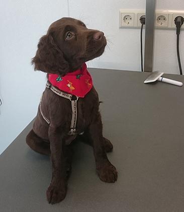 Heidewachtel pup van 9 weken komt kennismaken met trimsalon in meerhoven eindhoven voor socialisatie